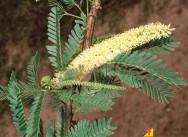 Bovinos - principais plantas tóxicas causadoras de mortes no Brasil
