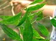 A erva-de-rato é a planta tóxica mais importante do Brasil, sobretudo na região Amazônica