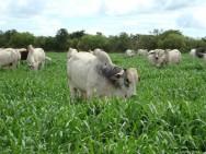 Plantas tóxicas que causam mortes em bovinos