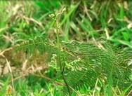 A samambaia é uma planta tóxica, sendo a brotação a porção mais perigosa ao gado.