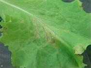 Alface hidropônica - doenças causadas por fungos