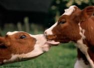 Bovinocultura - referências zootécnicas aumentam a produtividade animal