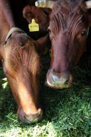 Cana-de-açúcar misturada com ureia garante a alimentação do gado na seca