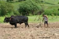 Acidente de trabalho rural - utilização de animais nas atividades agrícolas e matéria orgânica