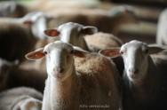 Ovinos em confinamento - manejo sanitário e manejo dos cordeiros