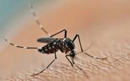 O mosquito da dengue