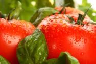 Aprenda Fácil Editora: Controle Biológico de pragas e doenças no tomateiro