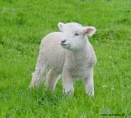 Ovinos em confinamento - o mercado de cordeiros