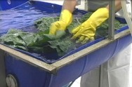 A desinfecção do produto após o corte deve ser realizada com água clorada, observando-se a concentração de cloro recomendada.