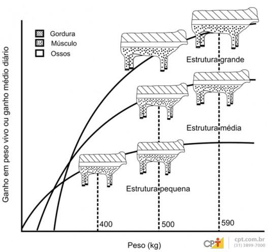 A estrutura corporal dos animais também pode influenciar a engorda, principalmente, quando se utiliza o cruzamento industrial
