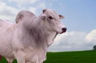 Gado de corte - engorda das categorias de bovinos