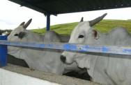 Para o descarte, deve-se preferir vacas magras e enxutas, permanecendo no confinamento até recuperarem a massa muscular