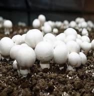 O momento ideal para a colheita é no alcance do seu maior tamanho, ainda no estágio imaturo.