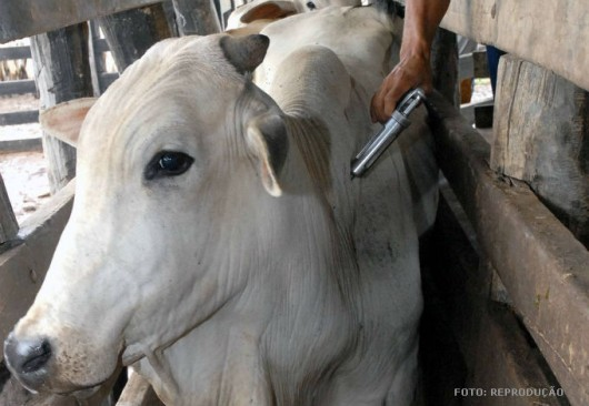 O gado, antes de entrar no confinamento, deve ser vacinado contra aftosa, vermifugado, tratado contra ectoparasitas
