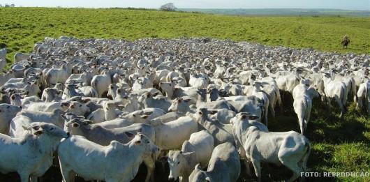 O manejo no confinamento do gado deve ser feito sempre de forma calma, evitando que os bovinos se estressem e que ocorram acidentes