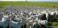 Gado de corte - correto manejo no confinamento dos bovinos