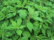 Medicina natural - Alfavacão (Ocimum gratissimum)