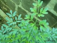 Medicina natural - Arruda (Ruta graveolens)