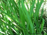 Medicina natural - Capim Cidreira (Cymbopogon citratus)