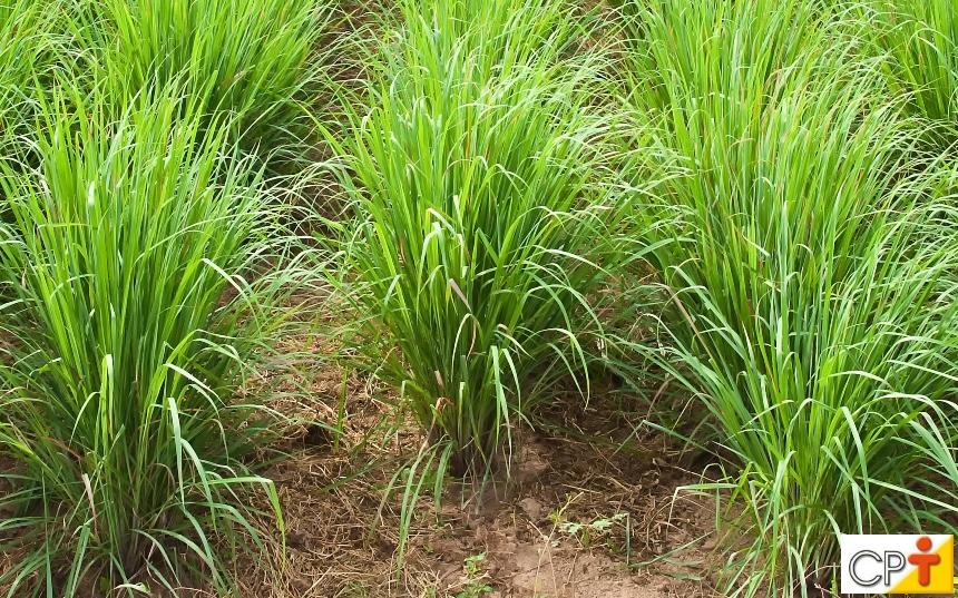Medicina natural - Capim Cidreira (Cymbopogon citratus)   Artigos CPT