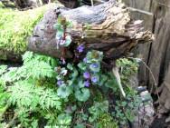 Medicina natural - Hera Terrestre (Glechoma hederacea)