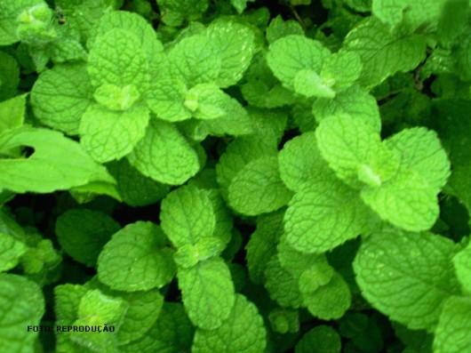 Medicina natural - Hortelã (Mentha sp.)