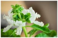 Medicina natural - Manjericão (Ocimum basilicum)