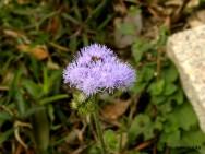 Medicina natural - Mentrasto (Ageratum conyzoides)