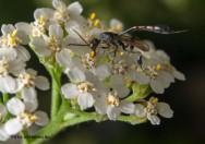 Medicina natural - Mil-em-Rama (Achillea millefolium)