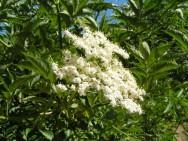 Medicina natural - Sabugueiro (Sambucus australis)
