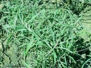 Medicina natural - Sálvia (Salvia officinalis)