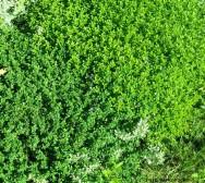 Medicina natural - Tomilho (Thymus vulgaris)