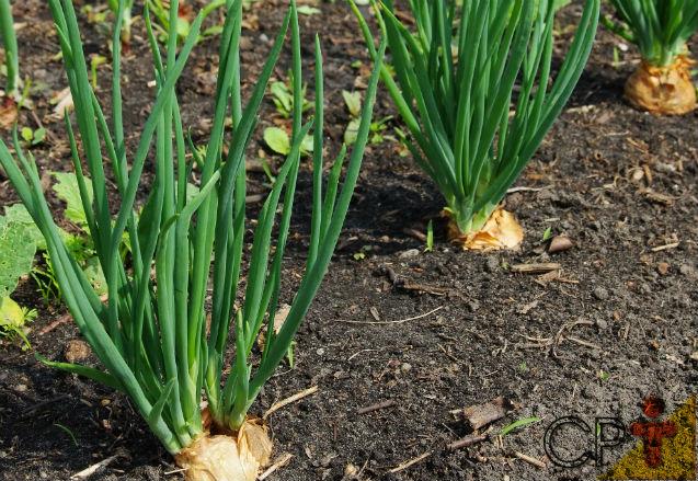 Horta - como plantar Cebolinha (Allium schoenoprasum)   Artigos Cursos CPT