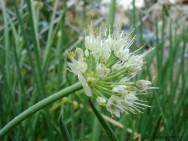 Horta - como plantar Cebolinha (Allium schoenoprasum)