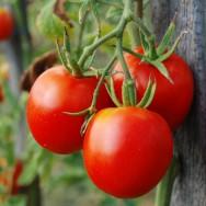 Tomates em estufa - partes do tomateiro e exigências climáticas