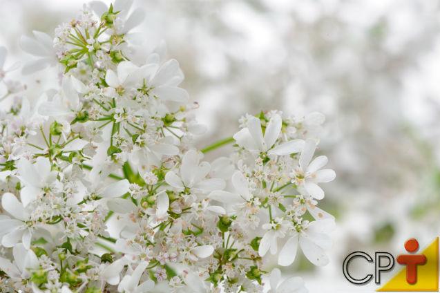 Horta - como plantar Coentro (Coriandrum sativum)   Artigos Cursos CPT