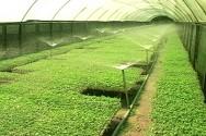 Irrigação do tomateiro.