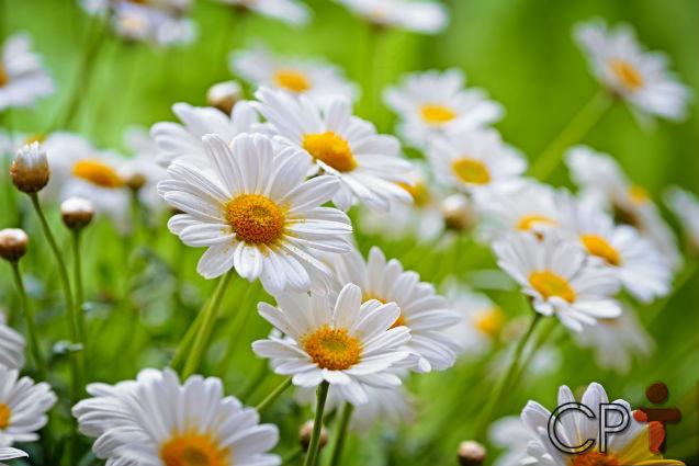 Horta - como plantar Camomila (Matricaria chamomilla)   Artigos Cursos CPT