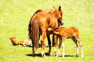 Reprodução de cavalos - cuidados com a égua gestante e o potro
