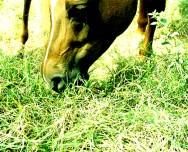 Reprodução de cavalos - sinais fisiológicos da proximidade do parto