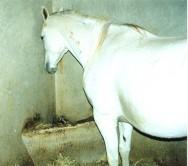 Reprodução de cavalos - fases do parto (1ª fase)