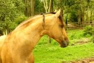 Reprodução de cavalos - fases do parto (2ª fase)