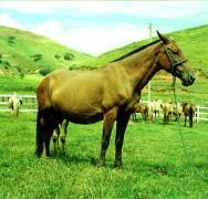 Reprodução de cavalos - fases do parto (3ª fase)