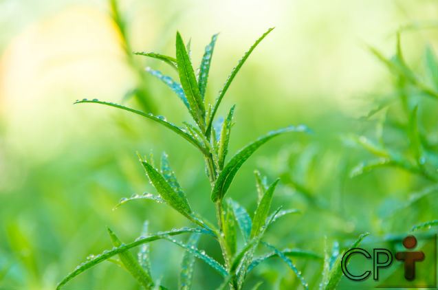 Horta - como plantar Estragão (Artemisia dracunculus)   Artigos Cursos CPT