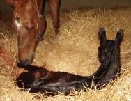 Reprodução de cavalos - quando auxiliar a égua em trabalho de parto