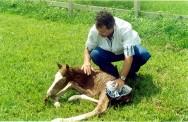 Reprodução de cavalos - problemas com o potro recém-nascido