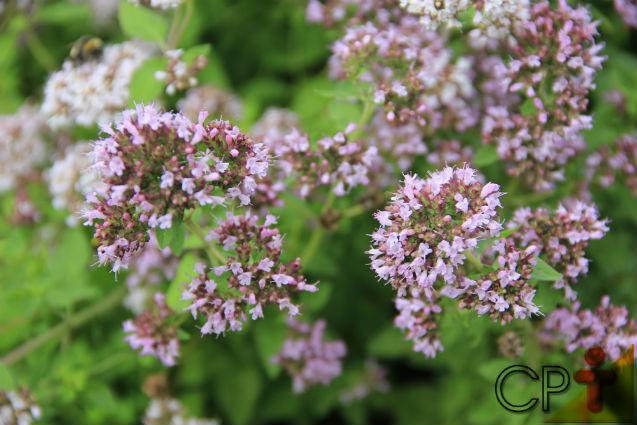 Horta - como plantar Orégano (Origanum virens)   Artigos Cursos CPT
