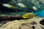 Os peixes de água doce do Brasil são inúmeros, existem cerca de 25.000 espécies