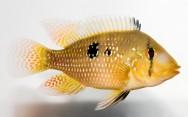 Peixes de água doce do Brasil - Acará (Geophagus brasiliensis)
