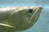 Peixes de água doce do Brasil - Aruanã (Osteoglossum bicirhossum)